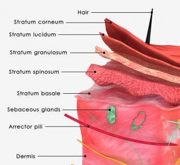 Regenacell Absorption in Skin Layers